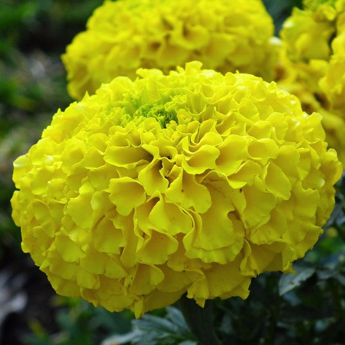 Buy Top 20 Flower Seeds Online Kerala Live Kerala