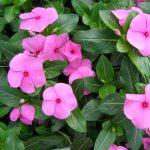 vinca-flower-seeds