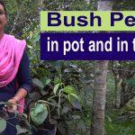 Bush Pepper in pot and in the yard